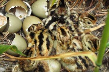 Fácán tojás eladó keltetésre alkalmas vadászfácán tojások  150ft/db Mocsa / Komarom Esztergom Megye/ Postázni tudom
