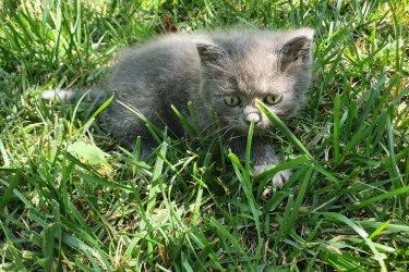 Félperzsa kiscica eladó
