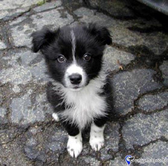 Border collie eladó! Fajta tiszta szülőktől 3 gyönyörű Border Collie kiskutya eladó oltva, féregtelenítve. Két kan és egy szuka. A kutyák jelenleg 8 hetesek. A kölykök jól tápláltak, érdeklődőek. A kutyusok színe szürke- fehér, barna-fehér (ő a kislány) illetve fekete-fehér. A fajta tiszta szülők, jelenleg is aktív munkakutyák.  A Border collie kölykök helyileg Heves megyében vehetők át, törzskönyvvel, vagy anélkül.