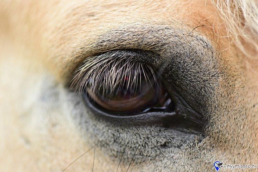 Eladó egy 2 éves, Lipicai, fekete kanca ló. Könnyen kezelhető.  Marmagassága, 170 cm. Ára: 550 000 Ft. Ugyanitt eladó, 5 éves kormos deres csődör is. Marmagassága 175 cm. Nagyon jámbor. Ára: 600 000  Csere nem érdekel.