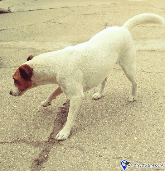 Ingyen elvihető 2 éves, Lola névre hallgató Foxi lány kutyusunk. Mozgékony, aktív, tele energiával. Cicákat nem szereti, más háziállattal egyedül hagyni sem ajánlom. Másik három kutyusunkkal jól kijön. Jó férgező. Chipje van, féregtelenítve, oltva.
